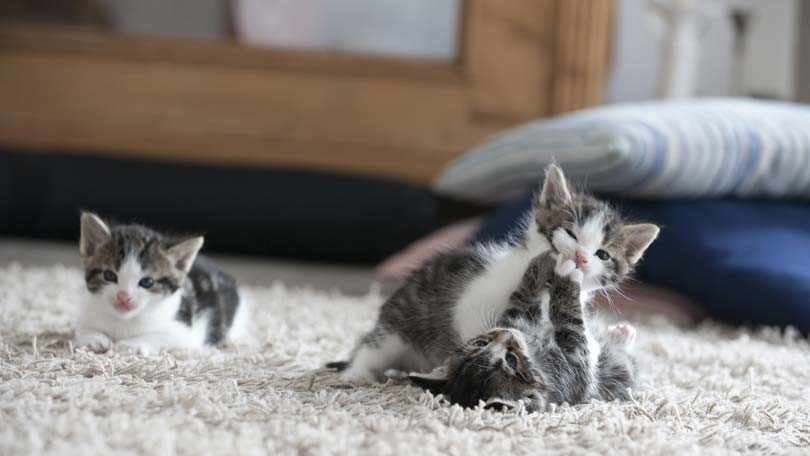 Pregnancy and the Birth of Kittens