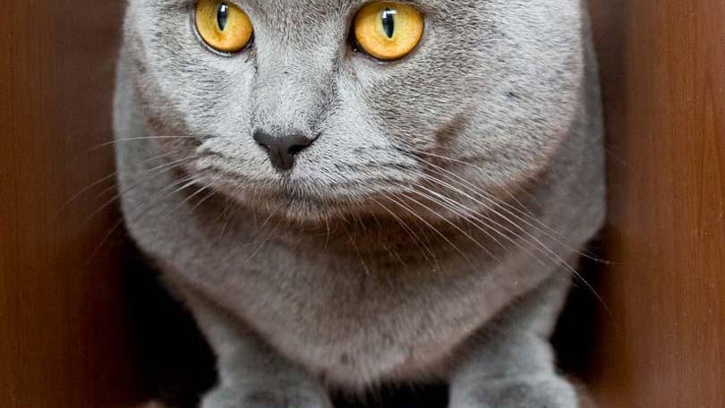 cat-77