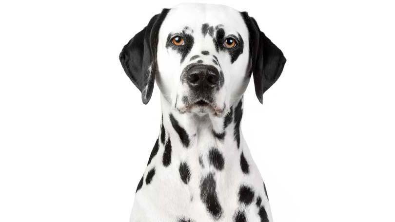 dog-437