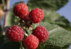 Raspberries – Rich in Antioxidants