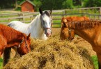 Quarter Horses – The Most Popular Equine Breed in America