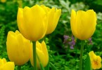 Tulips – Created by Carolus Clusius