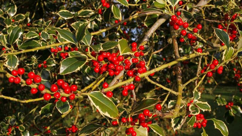 Holly – Trivia and Information