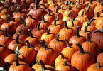 Growing Pumpkins – Great for Pies and Halloween