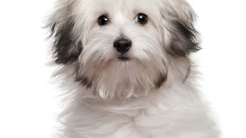 Small Dog Breeds Selecting Purebred Puppies