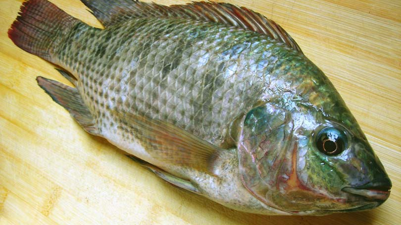 Pros and cons of buying and eating farm raised fish for Farm raised fish