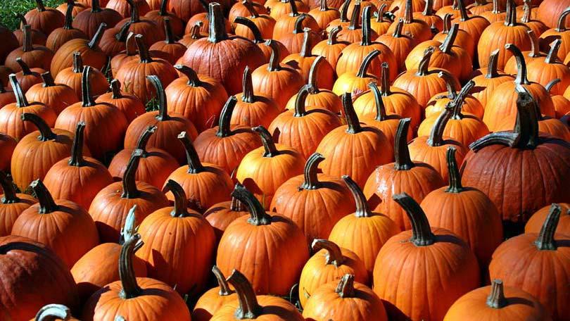 theres - Growing Halloween Pumpkins