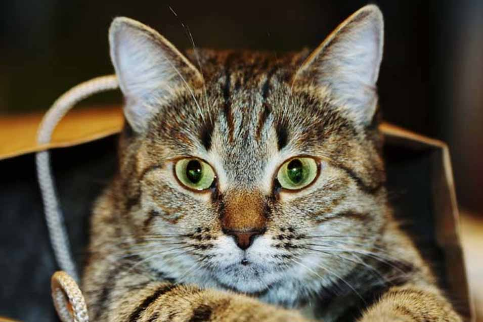 picture of a cat with green eyes