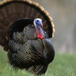 turkey trivia picture