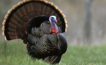 turkey trivia picture